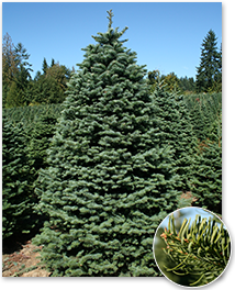 noble-fir2-214x264.png